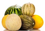 Protective cropping boosts Queensland melons