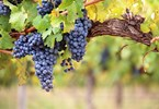 New directors for Australian Grape and Wine Authority