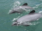 Dolphin survival depends on Kiwis