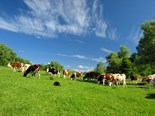 Many farmers rely on oats to fatten livestock during the autumn to early spring period.