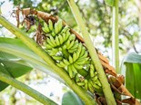 Meetings with banana growers in far north Queensland have been held by the ABGC and Biosecurity Queensland in relation to Panama TR4 disease.