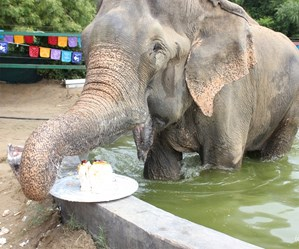 Raju the elephant celebrates one year of freedom with a slice of cake!