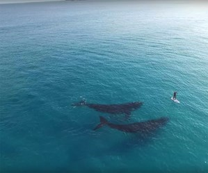 Drone captures moment whales swim up to paddle boarder