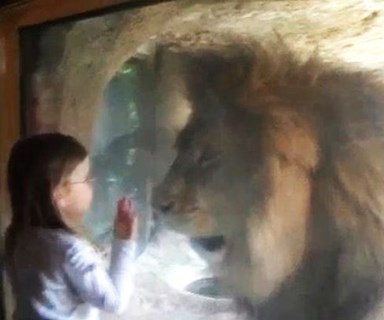 Little girl blows lion a kiss but did not expect this reaction