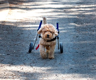 Dog gets new lease on life thanks to wheelchair