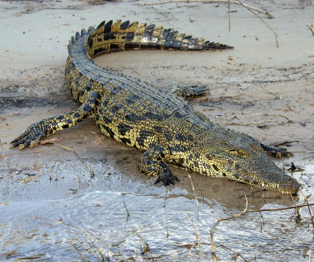 Woman snatched by crocodile in Queensland