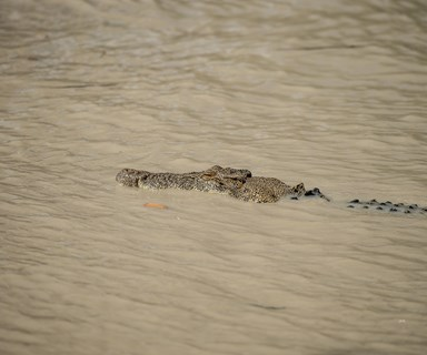 Crocodiles wait for drivers at flooded path in the Northern territory