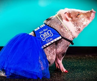 LiLou is the therapy pig helping nervous flyers get home