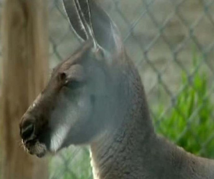 Woman suffers horrific injuries after being 'ripped to pieces' by kangaroo