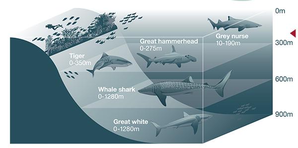 Sharks Ultimate Guide To Australian Sharks Australian Geographic - Great white shark range us map