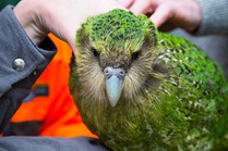The rare kakapo is a flightless bird from New Zealand. (Credit: Chrissie Goldrick)