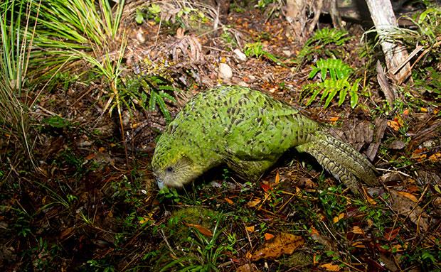 Kakapo Wallpaper Kakapo Back from the brink