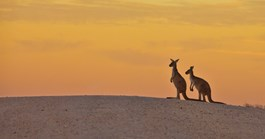 Kangaroos lived in a varied ecosystem during the Pliocene period, researchers say. (Credit: Getty)
