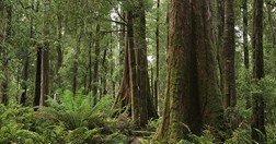 Conservation groups say the Tarkine region is under threat from Government-approved mines. (Credit: Sarah Koschak)