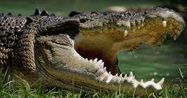 Estuarine crocodiles have a complex social system, new research suggests. (Credit: Getty)