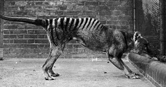The last-known footage of a thylacine, at the Beaumaris Zoo in Hobart in 1932.