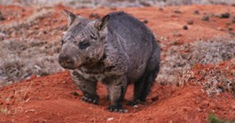 There are currently around 200 northern hairy-nosed wombats in existence. (Credit: Dave Harper)