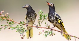 Native regent honeyeaters are thought to number only 800 to 2000 in the wild. (Credit: Dean Ingwersen)