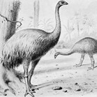 The size increase of moa may be attributed to the lack of competition in their New Zealand ecosystem. (Credit: Wikimedia)
