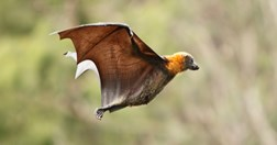 Nationally, there are three reported human fatalities from Australian bat lyssavirus on record. (Credit: Getty)