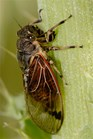 The surface of cicada wings tears apart bacteria, according to researchers. (Credit: Wikimedia Commons)