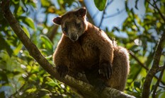 A Bennett's tree kangaroo at Shiptons Flat in far north Queensland. (Credit: Bill Hatcher)