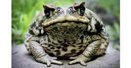 Some native species have learnt to avoid cane toads introduced into Australian habitats. (Credit: Getty)
