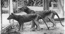 New research suggests the thylacine became extinct due to European settlement. (Photo: Tasmanian Museum and Art Gallery)