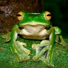 A new species of flying frog has been discovered in Vietnam. (Credit: Jodi Rowley)