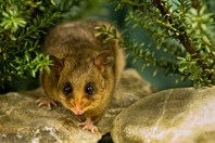 A mountain pygmy possum creeps around Healesville's replica habitat. (Credit: Jon Harris)