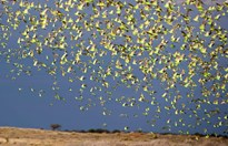 Budgies massing 40km south of Alice Springs. (Credit:  Timothy Hill)