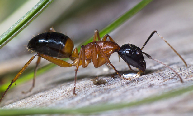 how to make home made ant rid in australia