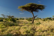 Lone acacia tree in an African landscape. (Credit: Getty Images)
