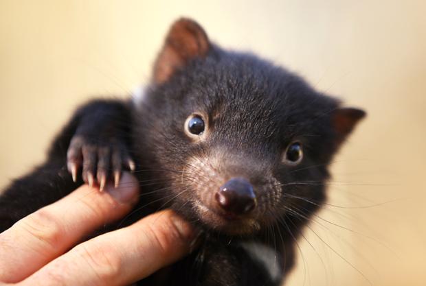 40 Tassie devil babies boost ark population - Australian Geographic