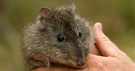 Gilbert's potoroo was only rediscovered in 1994. (Credit: Bill Hatcher)