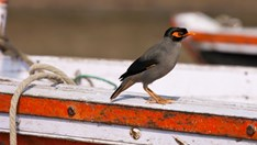An Indian myna in its native environment: on a boat in the River Ganges in the city of Varanasi. (Credit: Tim Graham/Getty)