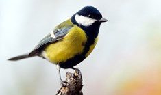Great tit birds (<em>Parus major</em>) are more successful at finding food when they're more socially connected. (Credit: Getty)