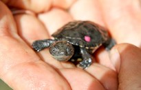 A hatchling western swamp tortoise at Perth Zoo - the dot of pink paint is a tag. (Credit: Perth Zoo)