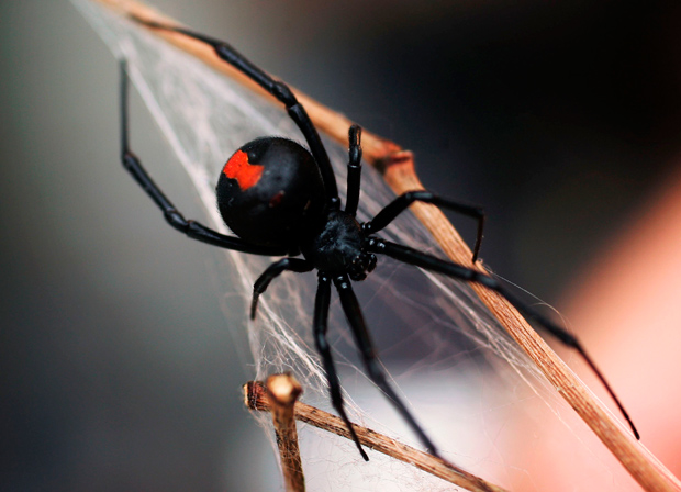 Australian spiders: the 10 most dangerous - Australian ...