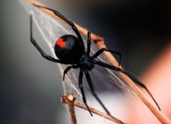 The redback spider can cause painful bites and is potentially fatal to humans. (Credit: Getty)