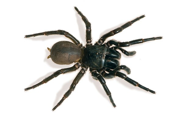 australian spiders the 10 most dangerous australian