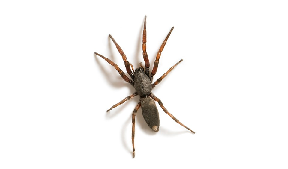 Australian spiders: the 10 most dangerous_image6 ...