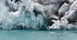 Antarctic terns feed at the terminal face of Risting Glacier, Drygalski Fjord, South Georgia. (Credit: David Neilson)