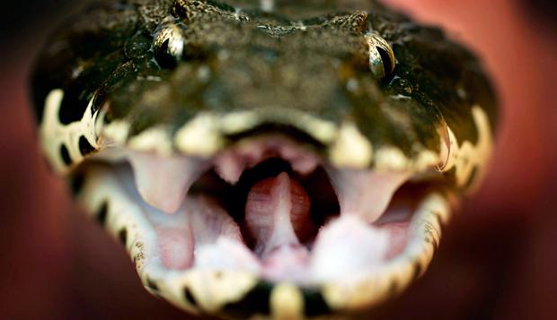 Australia's 10 most dangerous snakes - Australian Geographic