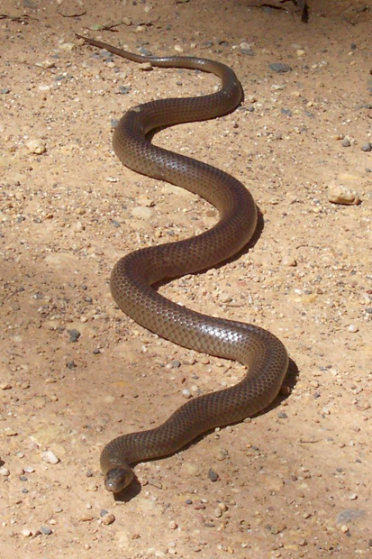 Australia's deadliest snakes eastern brown