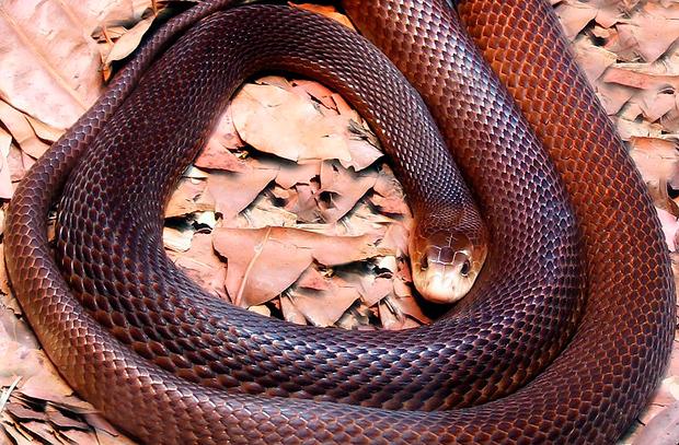 Australia's deadliest snakes coastal taipan