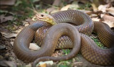 A king brown , or mulga, snake. Its venom is not the most toxic, but is produced in huge amounts. (Photo: Nick Rains)