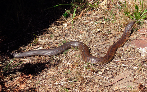 Australia's deadliest snakes lowland copperhead