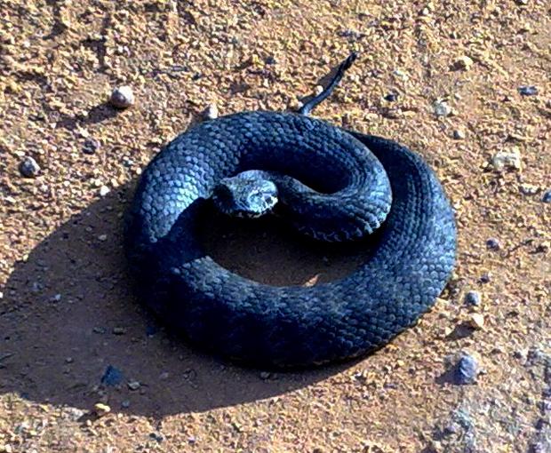 Australia's deadliest snakes death adder