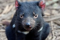 Tassie devils are at the mercy of a parasite-like cancer. (Credit: Getty)